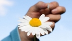 Camomile in female hands on a blue sky background.  Fortune-telling on a camomile.
